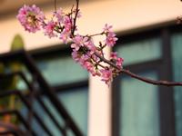 美美的櫻花
